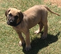 Great Dane Puppy For Sale in ENID, OK, USA