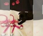Small Photo #3 French Bulldog Puppy For Sale in CAPE CORAL, FL, USA