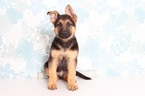 German Shepherd Dog Puppy For Sale in NAPLES, FL, USA