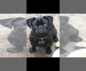 Mother of the Pug puppies born on 09/06/2020