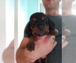 Puppy 10 Basset Hound