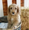 Golden Retriever-Poodle (Miniature) Mix Puppy For Sale in MURRIETA, CA