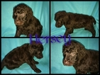 Poodle (Standard) Puppy For Sale in HOISINGTON, KS