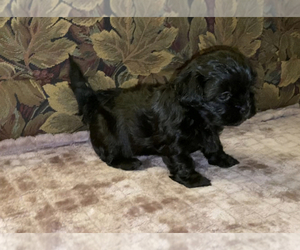 ShihPoo Puppy for sale in EAGLE, ID, USA