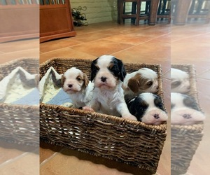 Cavalier King Charles Spaniel Dog for Adoption in ORO VALLEY, Arizona USA