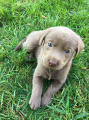 Labrador Retriever Puppy For Sale in TEMECULA, CA