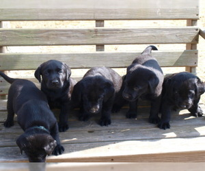 Labrador Retriever Puppy for Sale in NORTON SHORES, Michigan USA