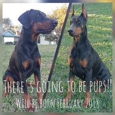 Doberman Pinscher Puppy For Sale in DE LEON SPRINGS, FL, USA
