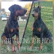Doberman Pinscher Puppy For Sale in DE LEON SPRINGS, Florida,