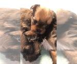 Small #1 Shorkie Tzu-Yorkshire Terrier Mix