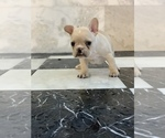 Small Photo #15 French Bulldog Puppy For Sale in LEAWOOD, KS, USA