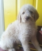Labradoodle-Labrador Retriever Mix Puppy For Sale in ALTON, MO, USA