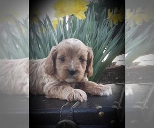 Cavapoo Dog for Adoption in EPHRATA, Pennsylvania USA