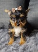 Morkie Puppy For Sale in WARSAW, Indiana,