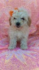 View Ad Poochon Puppy For Sale Near Pennsylvania Lancaster Usa