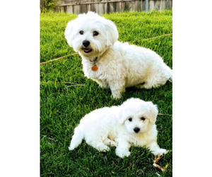 Father of the Coton de Tulear puppies born on 01/24/2019