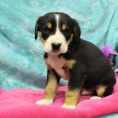 Greater Swiss Mountain Dog Puppy For Sale in GAP, PA