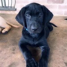 Labrador Retriever Puppy For Sale in COLLEGE STA, TX, USA