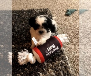 ShihPoo Puppy for Sale in CENTENNIAL, Colorado USA