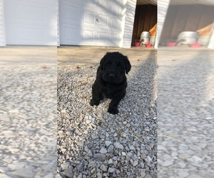 Labradoodle-Unknown Mix Puppy for sale in BENTON, IL, USA