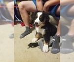 Bernese Mountain Dog Puppy For Sale in GOODLETTSVILLE, TN, USA