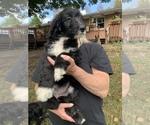 Puppy 3 Sheepadoodle