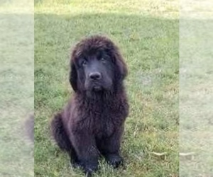 Newfoundland Puppy for Sale in OLLIE, Iowa USA