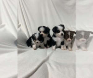 Miniature Australian Shepherd Puppy for sale in MC COOK, NE, USA