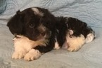 Havanese Puppy For Sale in THOMASVILLE, Georgia,
