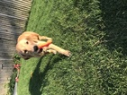 Golden Retriever Puppy For Sale in WEST SPRINGFIELD, MA, USA