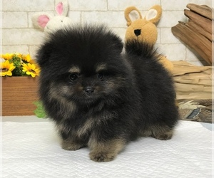 Pomeranian Puppy for Sale in SEATTLE, Washington USA