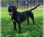 Small #35 American Pit Bull Terrier-Labrador Retriever Mix
