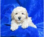 Small #11 Poodle (Miniature)