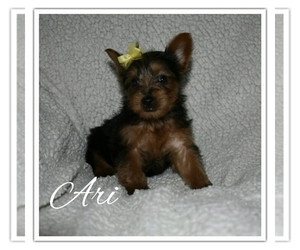 Yorkshire Terrier Puppy for Sale in SUGARCREEK, Ohio USA