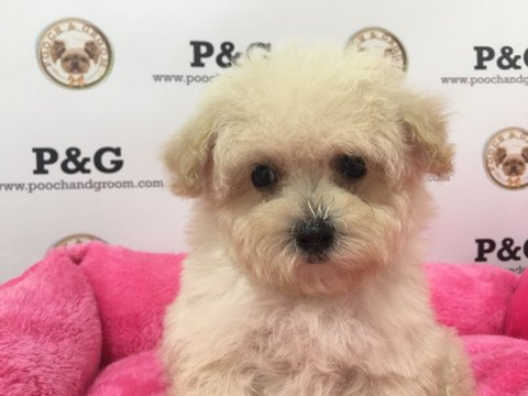 Maltese-Poodle (Toy) Mix puppy