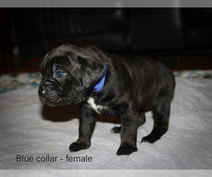 Cane Corso Puppy for Sale in ABERDEEN, Mississippi USA