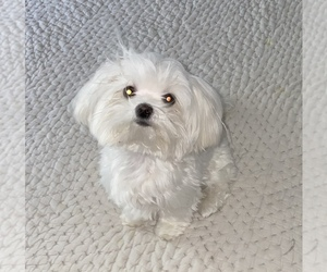 Mother of the Maltese puppies born on 11/23/2020