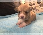 Pembroke Welsh Corgi Puppy For Sale in RAMONA, OK, USA