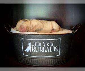 Labrador Retriever Puppy for sale in BALD HILL, KY, USA