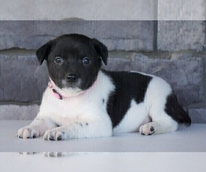 Jack Russell Terrier-Unknown Mix Puppy for sale in FREDERICKSBG, OH, USA
