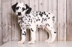 Dalmatian Puppy For Sale in MOUNT VERNON, OH, USA