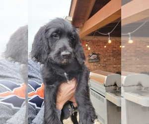 Labradoodle Puppy for sale in ROWLETT, TX, USA