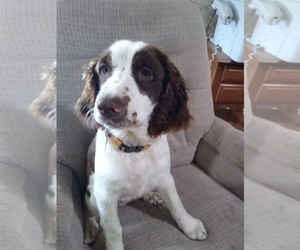 English Springer Spaniel Puppy for sale in SHILOH, OH, USA