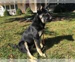 Small #411 German Shepherd Dog Mix