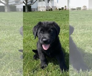 Labrador Retriever Puppy for sale in SULLIVAN, IL, USA