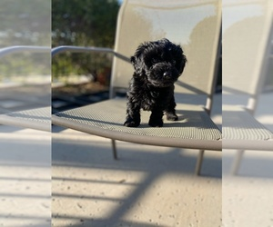 YorkiePoo Puppy for Sale in CAVE CREEK, Arizona USA