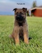 German Shepherd Dog Puppy For Sale in CENTURY, FL, USA