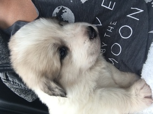 Great Pyrenees Puppy For Sale in BATESVILLE, AR
