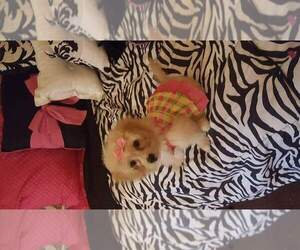 Shiranian Puppy for Sale in PORTAGE, Indiana USA