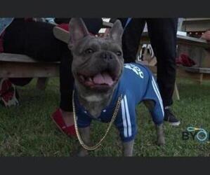 French Bulldog Puppy for sale in SUGAR LAND, TX, USA